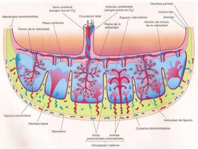 Resultado de imagen para Arborización Útero Placentaria