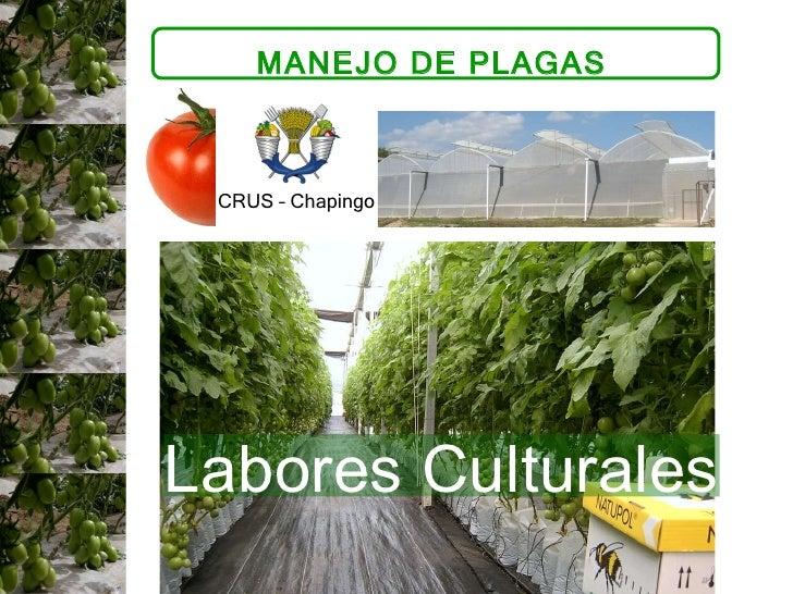 MANEJO DE PLAGAS  CRUS – Chapingo  Labores Culturales