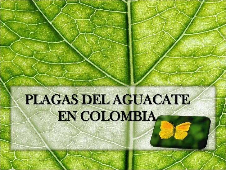 PLAGAS DEL AGUACATE    EN COLOMBIA