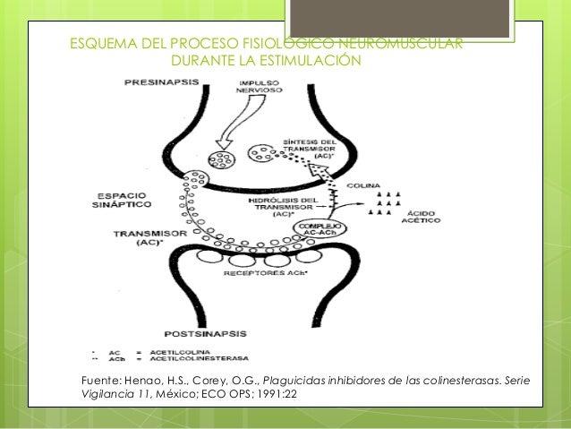 ESQUEMA DEL PROCESO FISIOLÓGICO NEUROMUSCULAR DURANTE LA ESTIMULACIÓN  Fuente: Henao, H.S., Corey, O.G., Plaguicidas inhib...