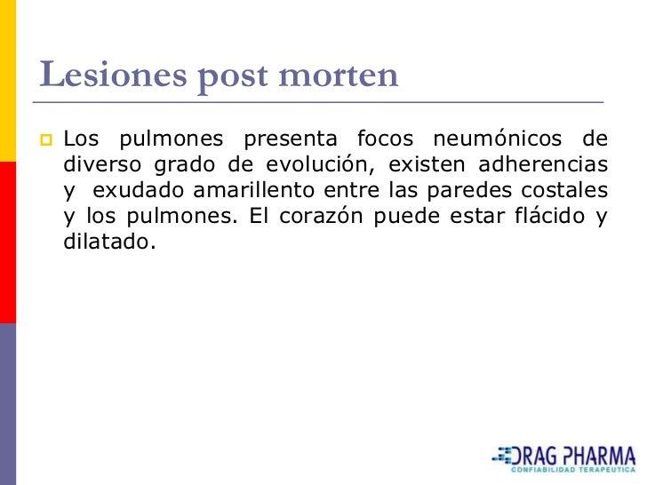 Lesiones post morten    Los pulmones presenta focos neumónicos de     diverso grado de evolución, existen adherencias    ...