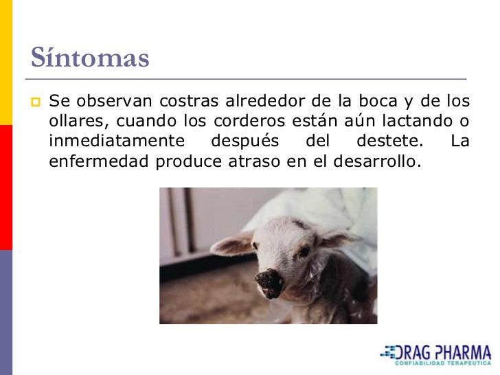 Síntomas    Se observan costras alrededor de la boca y de los     ollares, cuando los corderos están aún lactando o     i...