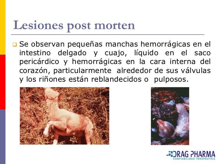 Lesiones post morten    Se observan pequeñas manchas hemorrágicas en el     intestino delgado y cuajo, líquido en el saco...