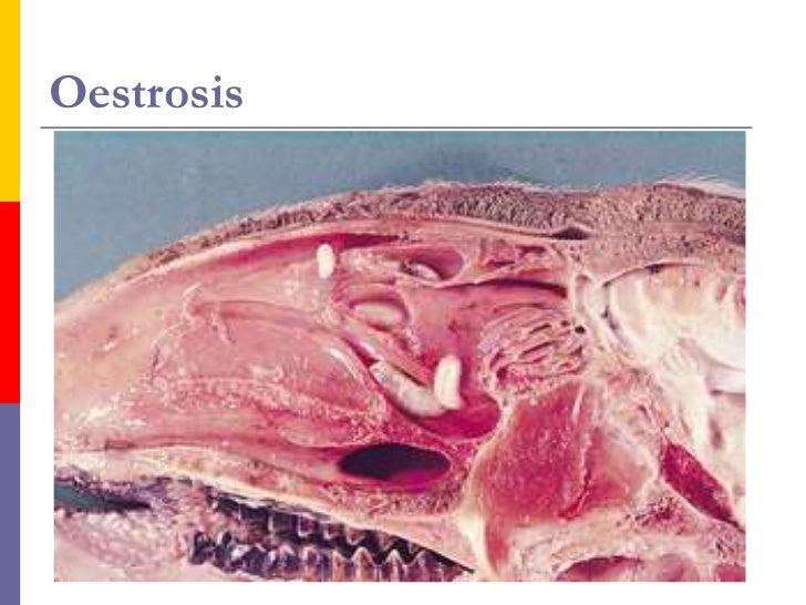 Distomatosis Hepática.    Su agente causal es la Fasciola hepática,     parásito de 2 a 2,5 cm., con forma de hoja y     ...