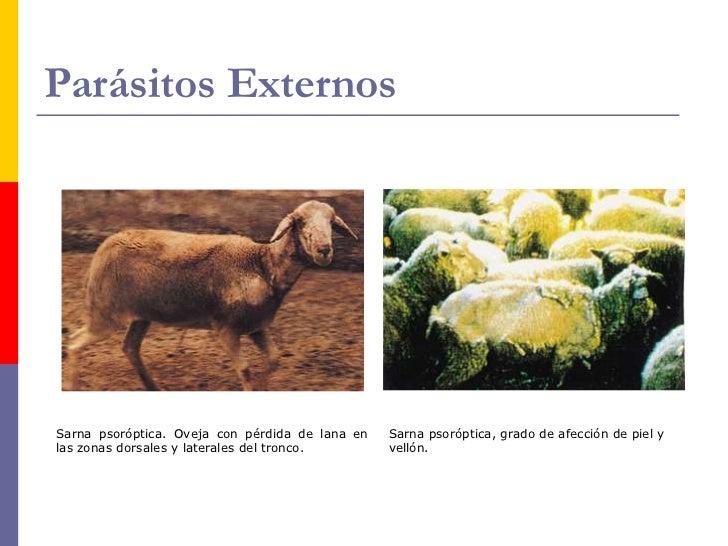 Parásitos Externos    Garrapatas y piojos.     Otros tres parásitos externos son frecuentes en     las ovejerías, ellos ...