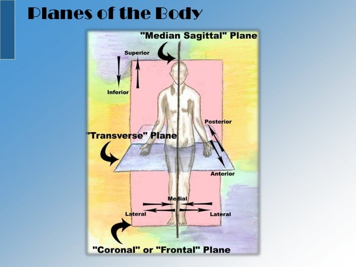 Body Direction besides 3936580 additionally Planes And Regions Of The Body besides Anatomy Vaginal4739 further Connective Tissues. on body planes directions and cavities