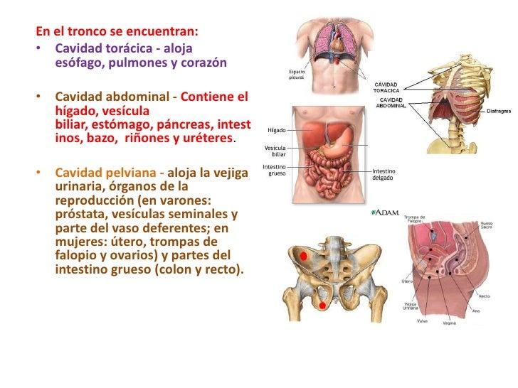 Fantástico Ubicación Del Hígado En Mujeres Molde - Anatomía de Las ...