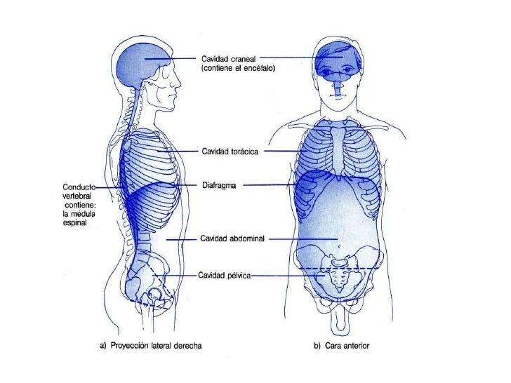 Excelente Definición De Tejido En La Anatomía Motivo - Anatomía de ...