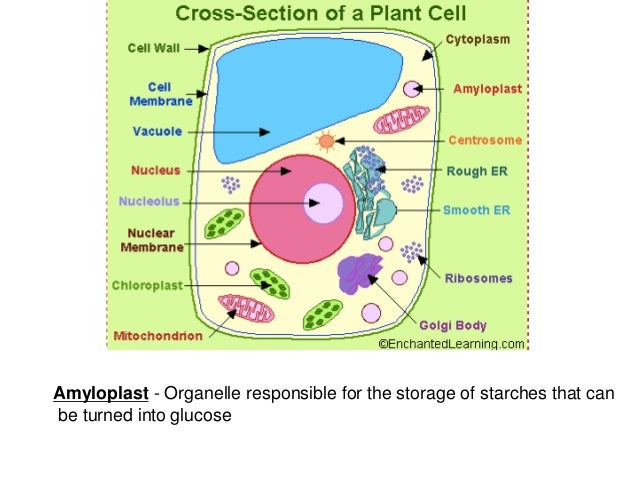 cross section of labeled plant and animal cell