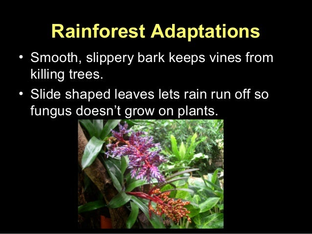 adaptive features of plants in rainforests Plant adaptations to different growth conditions plant adaptations to different growth which climate might these plants be adapted to what features.
