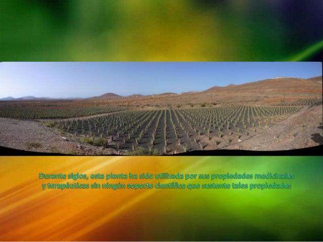 Aloe vera: planta milagro Slide 2