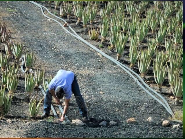 Aloe vera: planta milagro Slide 3