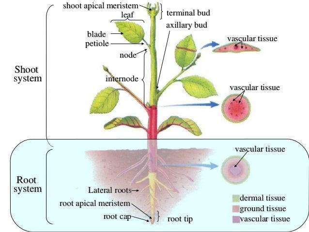 Vascular Plant Organ Diagram Explore Schematic Wiring Diagram