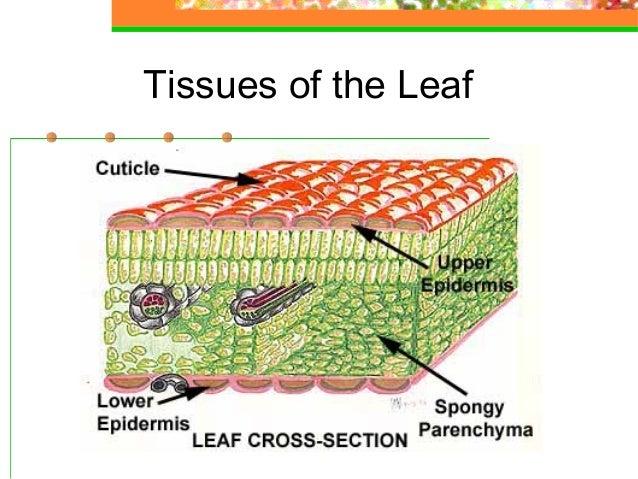 Basic plant anatomy