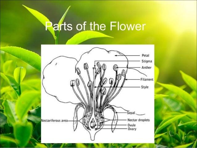 Plant anatomy presentation