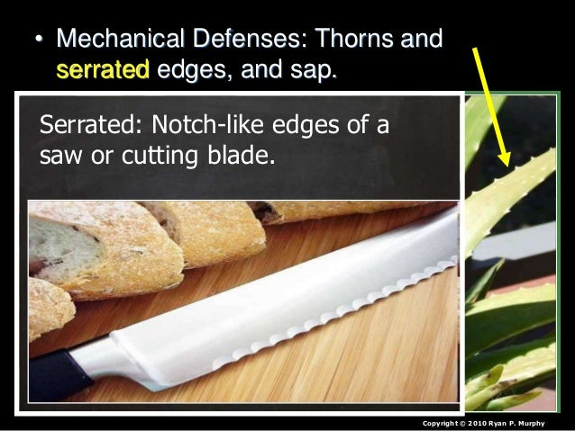 • Mechanical Defenses: Thorns and serrated edges, and sap. Copyright © 2010 Ryan P. Murphy Serrated: Notch-like edges of a...