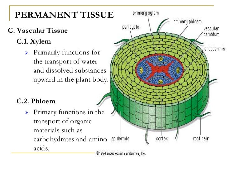 Plant and animal tissues