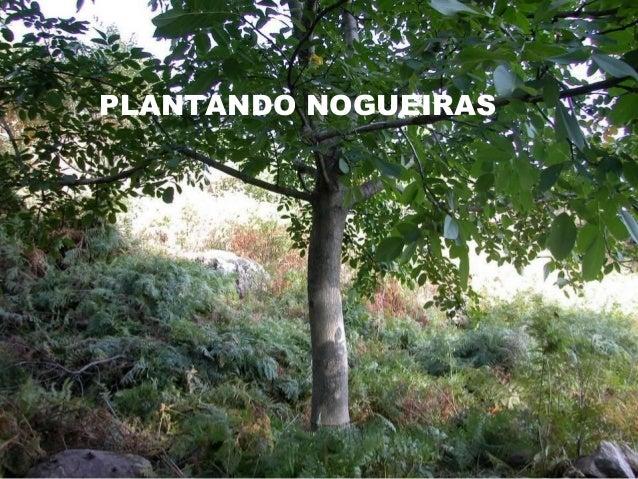 PLANTANDO NOGUEIRAS