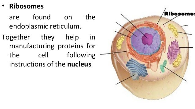 Ribosomes In A Plant Cell Plant & animal cel...