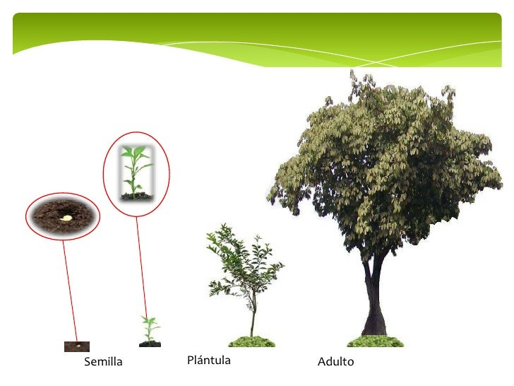 Plantas jóvenes - adultas Slide 3