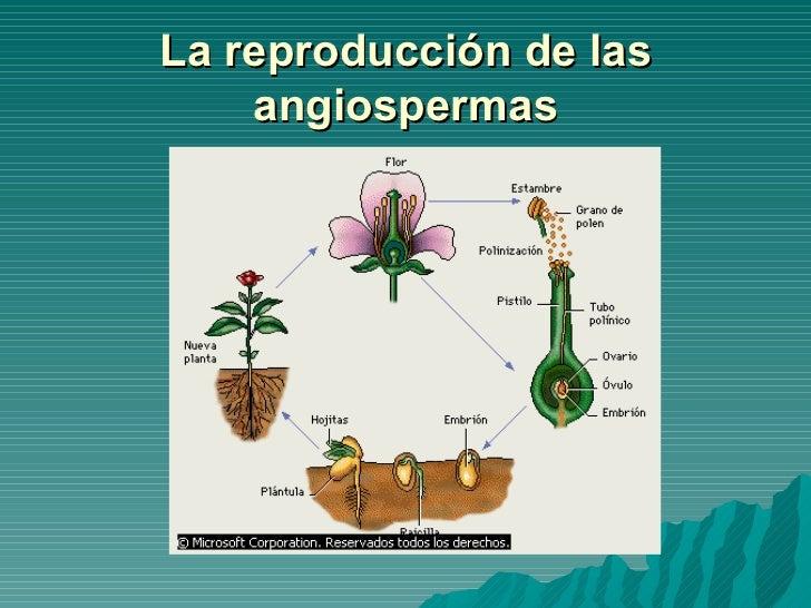 Plantas Gimnospermas Y Angiospermas