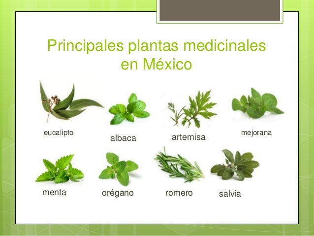 Plantas medicinales en mexico presentacion final for Plantas decorativas con sus nombres
