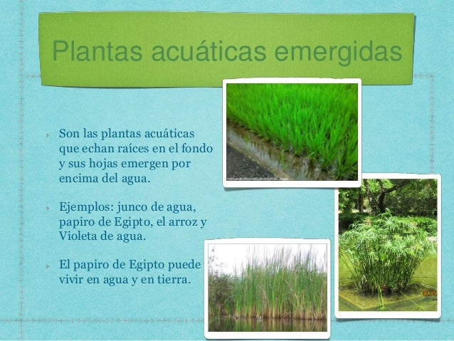plantas acuáticas emergidas son las plantas acuáticas que echan