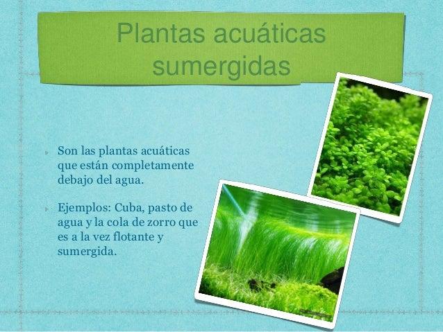 plantas acuáticas sumergidas son las plantas acuáticas que están
