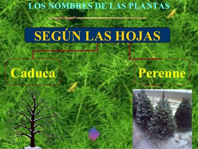 Plantas animdas for Plantas hoja perenne