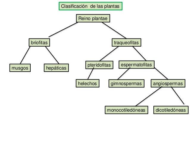 Clasificación de las plantas Reino plantae traqueofitas musgos hepáticas pteridofitas espermatofitas helechos gimnospermas...