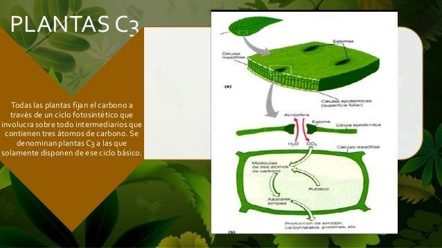 Plantas c3 for Plantas hortalizas ejemplos