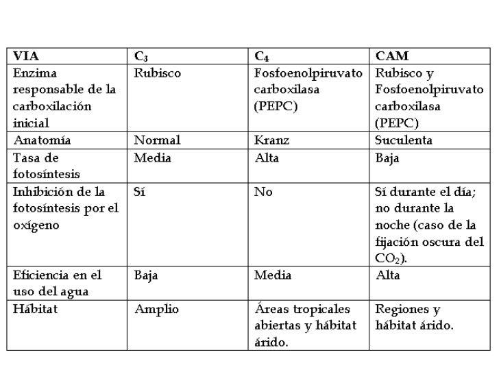 Fotosintesis c3 c4 y cam ppt 512b9430d106