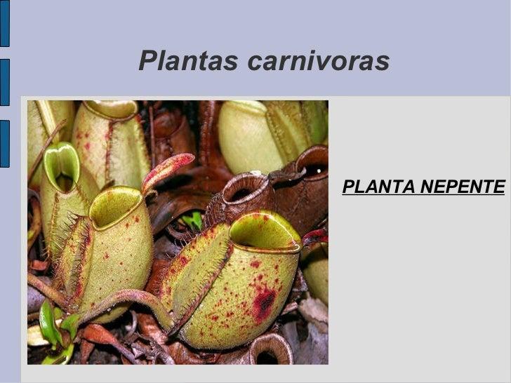 Plantas carnivoras PLANTA NEPENTE