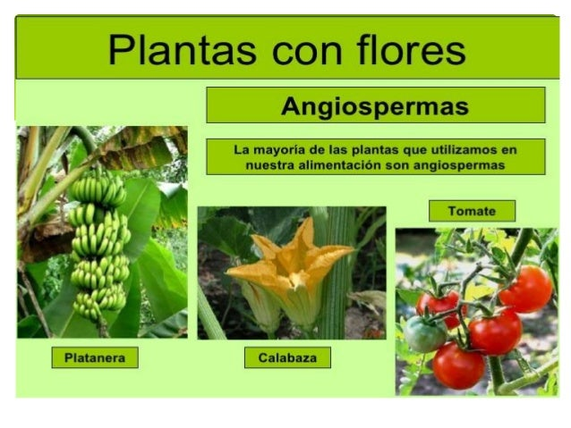 Plantas con semilla for Clasificacion de las plantas ornamentales