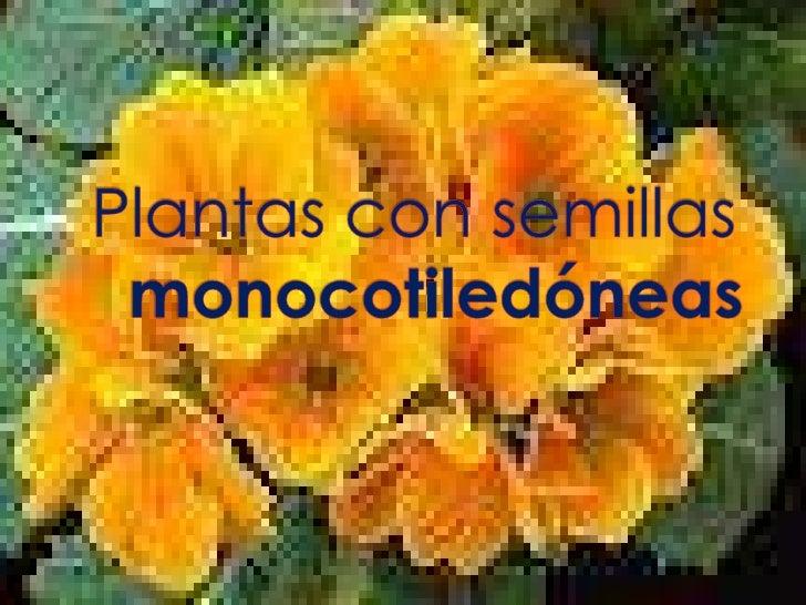 Plantas con semillas monocotiledoneas for Que son plantas ornamentales ejemplos