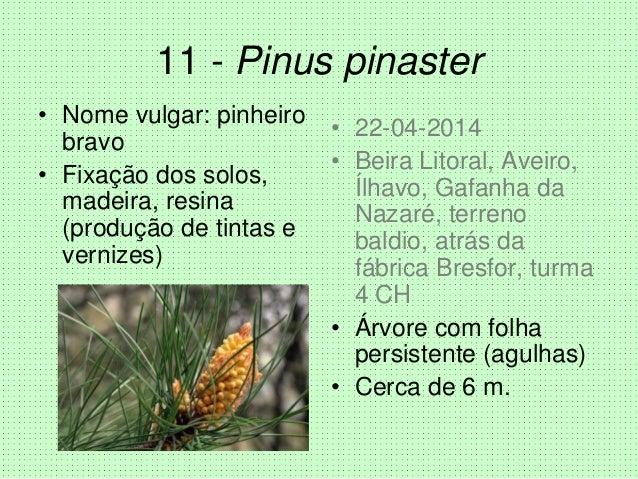11 - Pinus pinaster • Nome vulgar: pinheiro bravo • Fixação dos solos, madeira, resina (produção de tintas e vernizes) • 2...