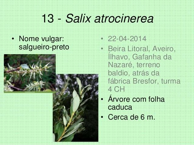 13 - Salix atrocinerea • Nome vulgar: salgueiro-preto • 22-04-2014 • Beira Litoral, Aveiro, Ílhavo, Gafanha da Nazaré, ter...