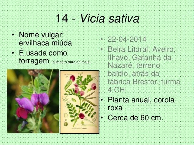 14 - Vicia sativa • Nome vulgar: ervilhaca miúda • É usada como forragem (alimento para animais) • 22-04-2014 • Beira Lito...