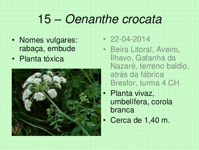 15 – Oenanthe crocata • Nomes vulgares: rabaça, embude • Planta tóxica • 22-04-2014 • Beira Litoral, Aveiro, Ílhavo, Gafan...