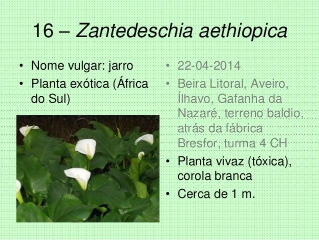 16 – Zantedeschia aethiopica • Nome vulgar: jarro • Planta exótica (África do Sul) • 22-04-2014 • Beira Litoral, Aveiro, Í...