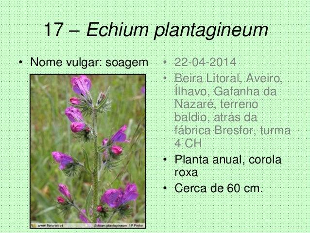 17 – Echium plantagineum • Nome vulgar: soagem • 22-04-2014 • Beira Litoral, Aveiro, Ílhavo, Gafanha da Nazaré, terreno ba...