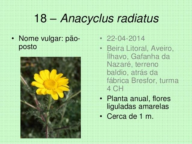 18 – Anacyclus radiatus • Nome vulgar: pão- posto • 22-04-2014 • Beira Litoral, Aveiro, Ílhavo, Gafanha da Nazaré, terreno...