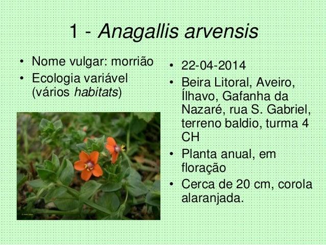1 - Anagallis arvensis • Nome vulgar: morrião • Ecologia variável (vários habitats) • 22-04-2014 • Beira Litoral, Aveiro, ...