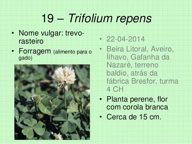 19 – Trifolium repens • Nome vulgar: trevo- rasteiro • Forragem (alimento para o gado) • 22-04-2014 • Beira Litoral, Aveir...