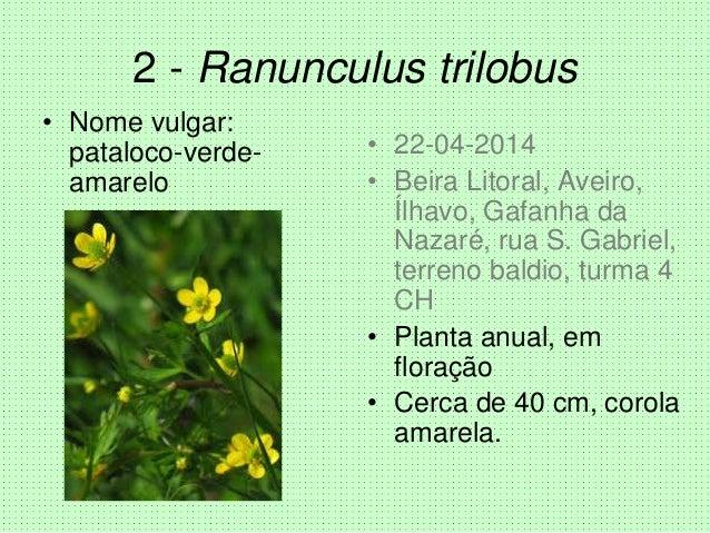2 - Ranunculus trilobus • Nome vulgar: pataloco-verde- amarelo • 22-04-2014 • Beira Litoral, Aveiro, Ílhavo, Gafanha da Na...