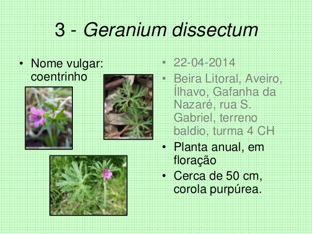 3 - Geranium dissectum • Nome vulgar: coentrinho • 22-04-2014 • Beira Litoral, Aveiro, Ílhavo, Gafanha da Nazaré, rua S. G...