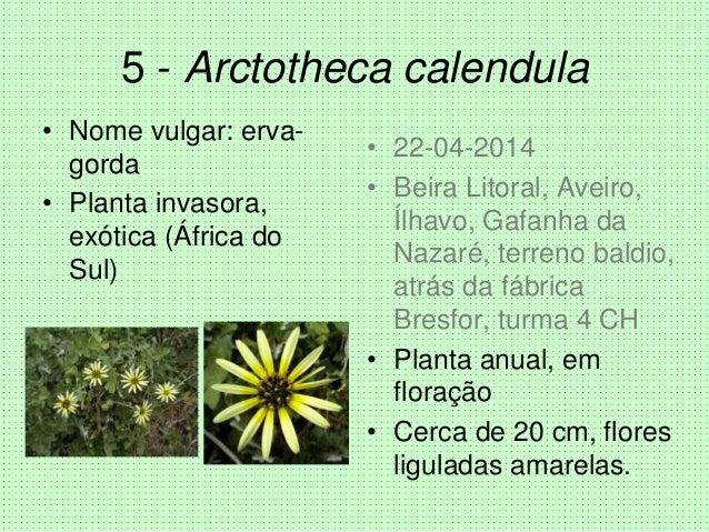 5 - Arctotheca calendula • Nome vulgar: erva- gorda • Planta invasora, exótica (África do Sul) • 22-04-2014 • Beira Litora...