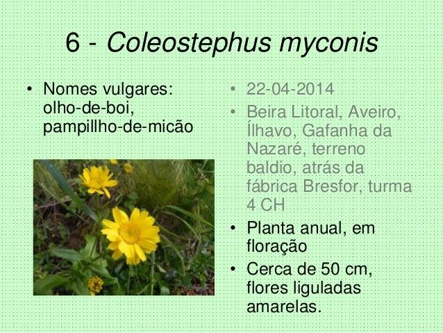6 - Coleostephus myconis • Nomes vulgares: olho-de-boi, pampillho-de-micão • 22-04-2014 • Beira Litoral, Aveiro, Ílhavo, G...