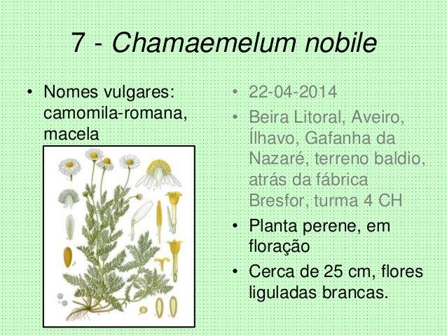 7 - Chamaemelum nobile • Nomes vulgares: camomila-romana, macela • 22-04-2014 • Beira Litoral, Aveiro, Ílhavo, Gafanha da ...
