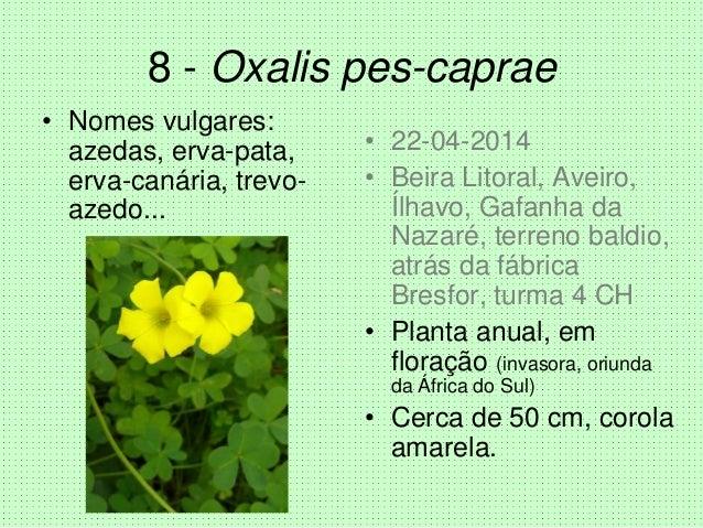 8 - Oxalis pes-caprae • Nomes vulgares: azedas, erva-pata, erva-canária, trevo- azedo... • 22-04-2014 • Beira Litoral, Ave...